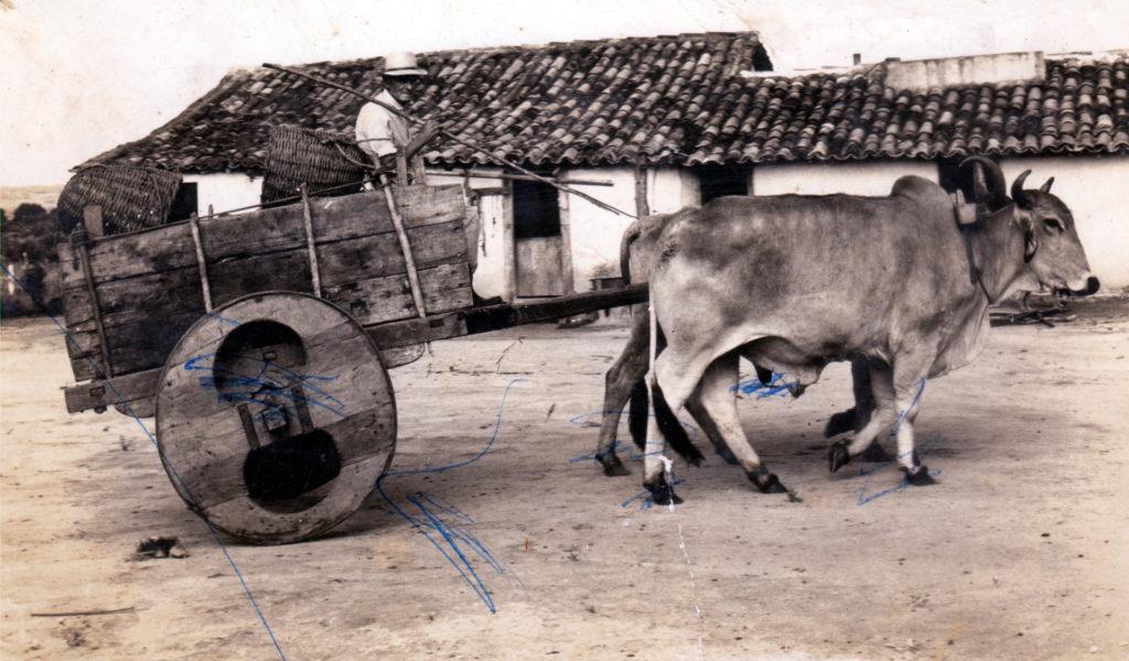 Chico (avô paterno) e o carro de boi (a caminho do engenho)